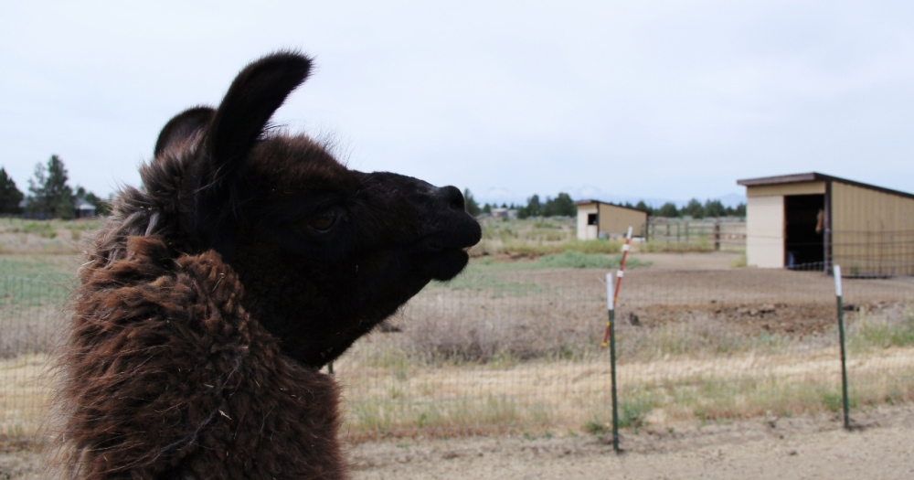 A patient llama watches over the herd of Angora goats.